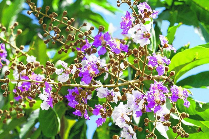 Malayan Crepe Myrtle (Lagerstroemia floribunda) is one of the trees to be planted at Jurong Lake Gardens.