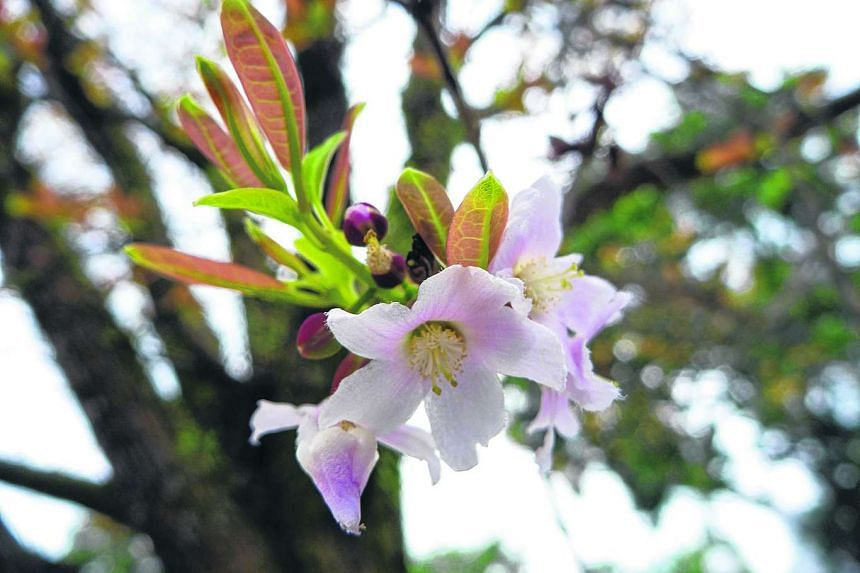 The Pink Mempat (Cratoxylum formosum)  is one of the tropical variants of the cherry blossom.