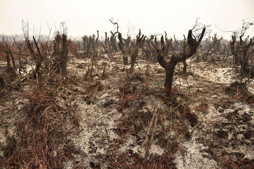 Burnt trees after a peatland fire on the outskirts of Palangkaraya city, Kalimantan, on Oct 26, 2015.