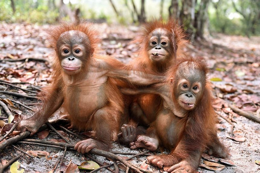 Baby orang utans, which previously suffered from respiratory problems, playing at a nursery in a rehabilitation centre operated by the Borneo Orangutan Survival Foundation on the outskirts of Palangkaraya, Kalimantan, on Oct 26, 2015.