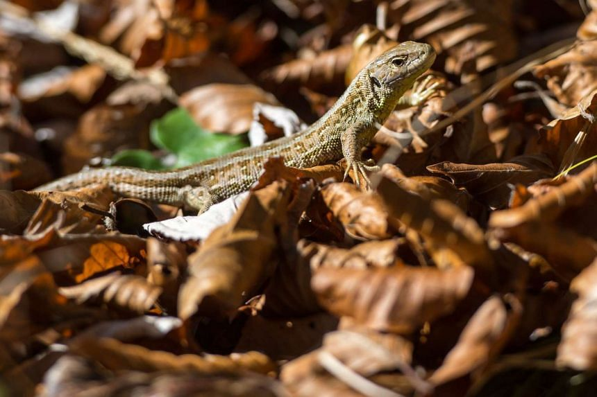 A lizard is pictured on Oct 21 at Lenggries, Germany.