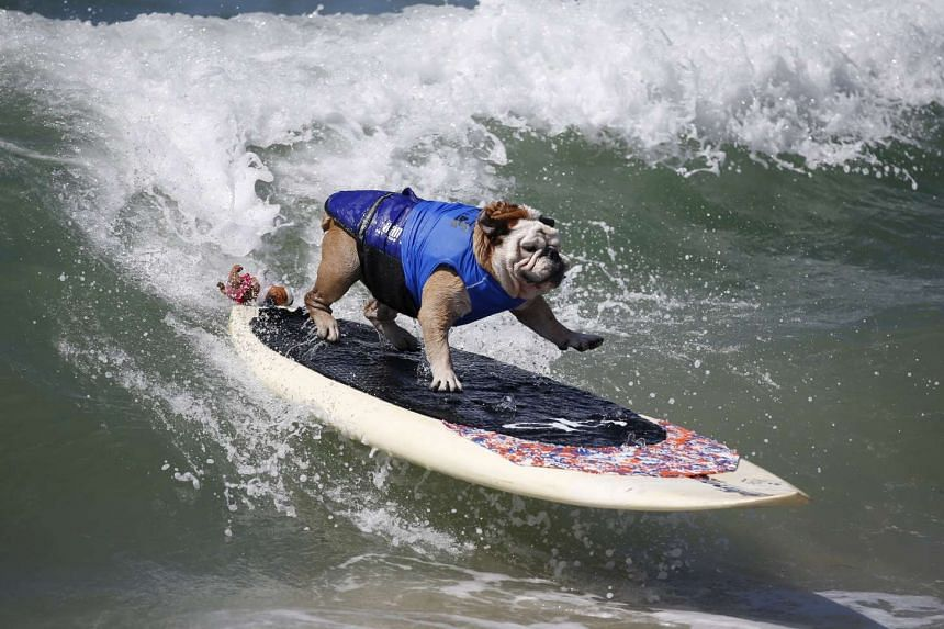 Tillman the English bulldog holds the Guinness World Record for the fastest skateboarding canine.