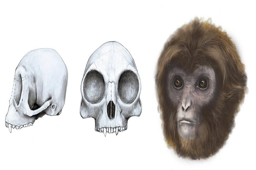 Scientists have announced the discovery in Catalonia of fossil remains of a small, fruit-eating female ape that lived 11.6 million years ago in Spain, in a warm, wet forested region with animals that included rhinos and sabre-toothed predators. The h