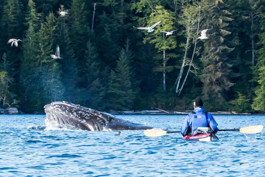 Whale-watching on a kayak around Vancouver Island in Canada.