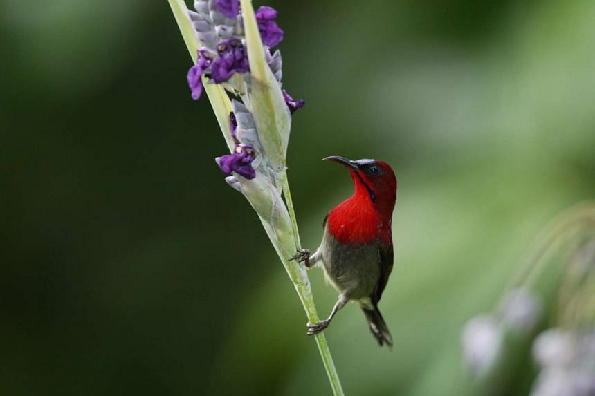 The crimson sunbird has been informally nominated by nature lovers as the national bird of Singapore.