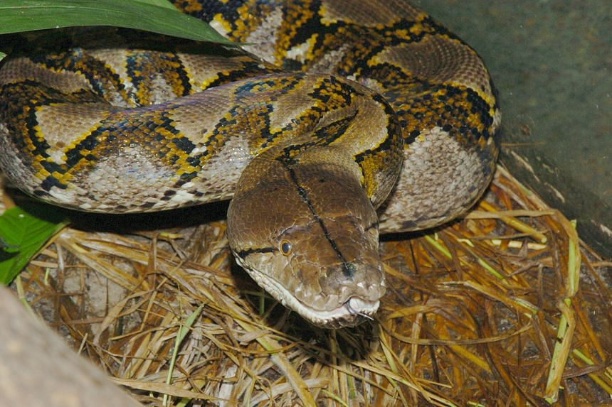 A reticulated python, a species that is commonly found in Singapore.