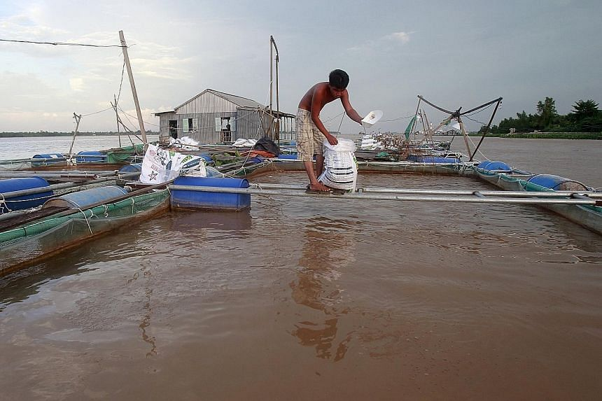 """A Mekong River fish farmer in Vietnam's southern city of Can Tho. A study backed by the Vietnamese government has shown that 40 per cent of white fish in Vietnam will be """"highly vulnerable or at risk"""" from Laos' planned or under- construction dams."""
