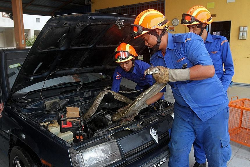 Civil defence department officers removing a 4m-long cobra hiding under the bonnet of a car.