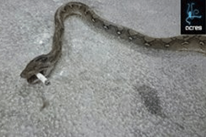 The python was found with its head and body crushed and a cigarette butt in its mouth.