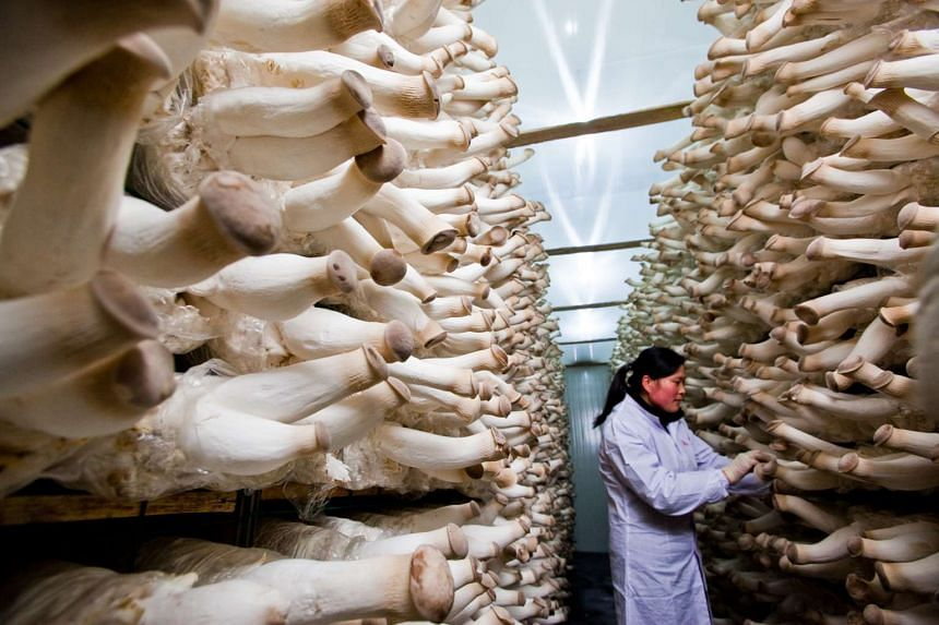 A worker inspecting the cultivation of king oyster mushrooms at China Minzhong Food Corporation.