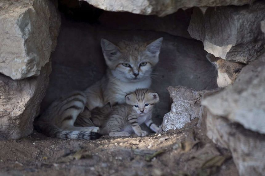 A sand cat, is pictured with her three kittens in Ramat Gan, near Tel Aviv, Israel.