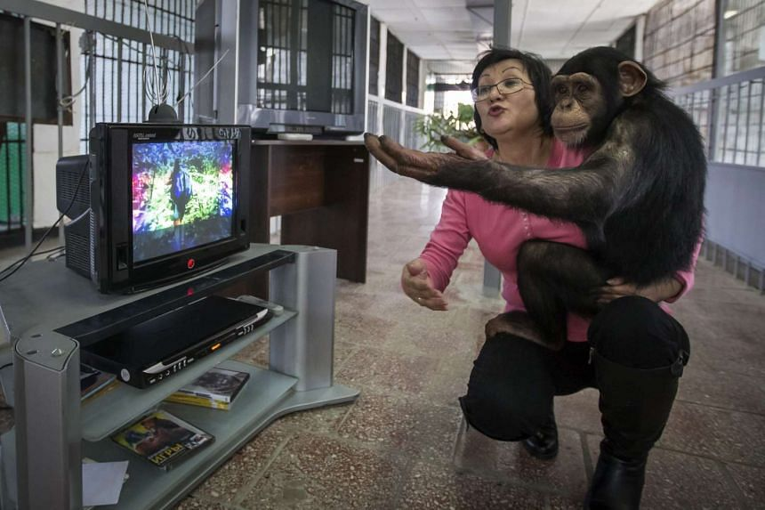 Zoo staff member Sholpan Abdibekova and Tomiris, a five-year-old chimpanzee, react as they watch a BBC environmental programme in a primate winter enclosure in Almaty in a March 6, 2015, file photo.