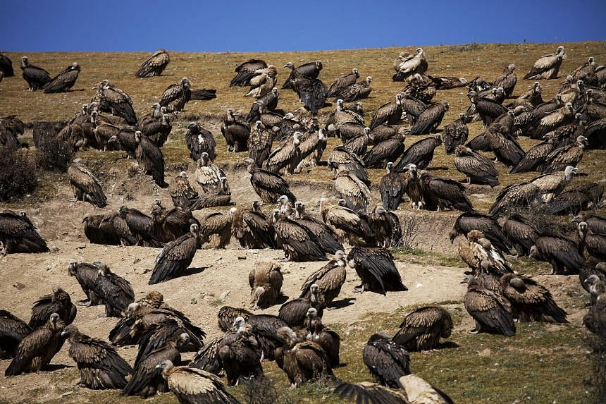 Vultures gathering for a sky burial near the Larung Wuming Buddhist Institute, some 3,700m to 4,000m above sea level, in Sertar county, Garze Tibetan Autonomous Prefecture, in China's Sichuan province. Sky burials, in which corpses are offered to vul