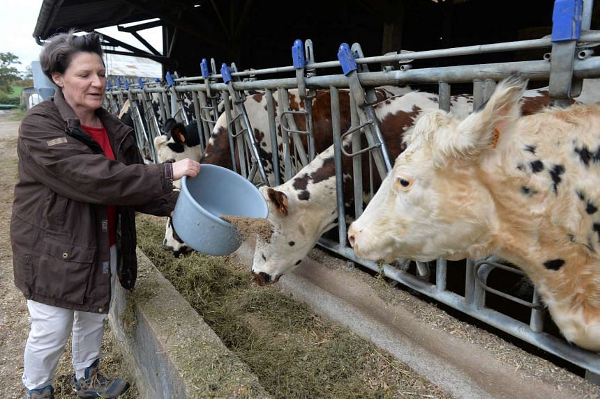 Farmer Marie-Francoise Brizard feeds her Normandy cows with linseed after milking at her farm in Courcite, northwestern France.