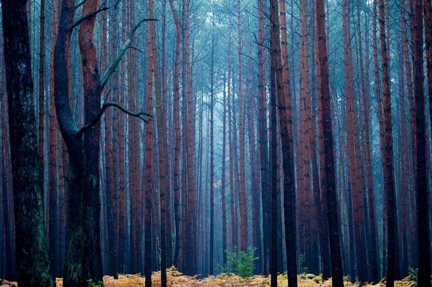 Pale light hangs in a pine forest during a rainy autumn morning on Oct 15, 2015 near Fuerstenwalde, eastern Germany.