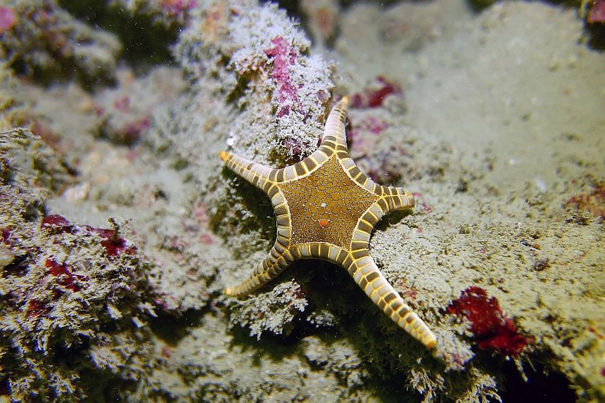 (From top) The icon seastar, feather stars and boulder coral can be found in the waters around the Southern Islands.