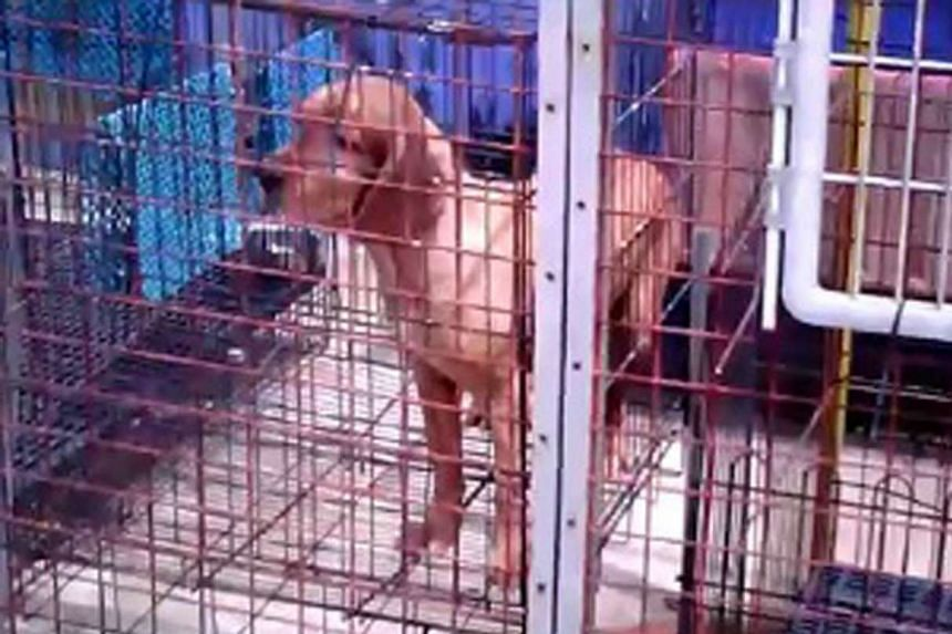 Animal welfare group Acres' undercover investigation revealed that some pet shops failed to meet the conditions for basic animal welfare by providing cages that are too small. PHOTO: ACRES