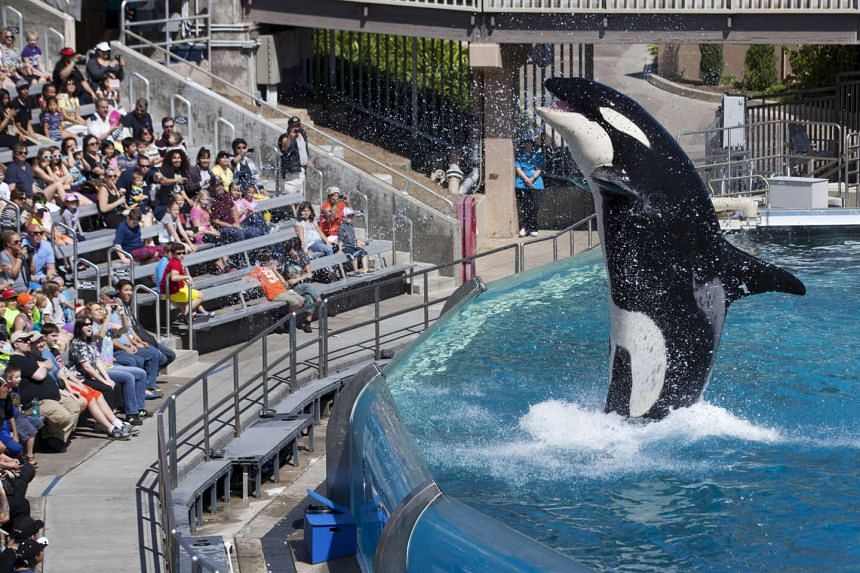 Visitors are greeted by an Orca killer whale during a show at SeaWorld in San Diego.