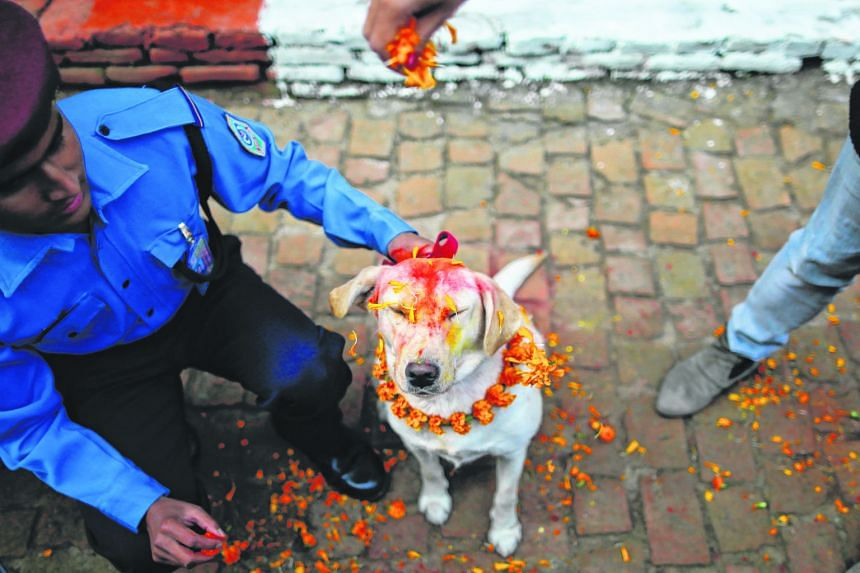 A police officer sprinkles coloured powder on a police dog at Nepal's Central Police Dog Training School during a dog worship day set aside for man's best friend. The dog is garlanded, decorated with a mark on the forehead and fed well in appreciatio