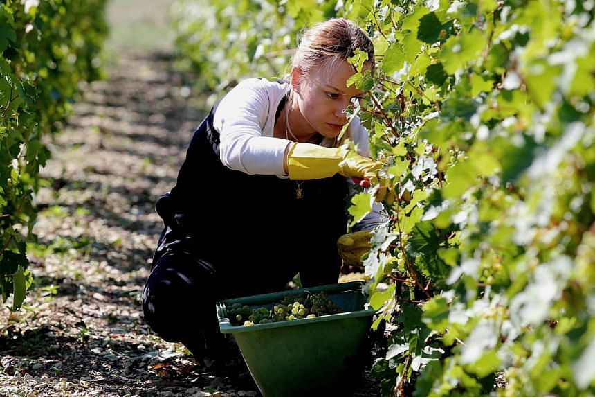 A file picture taken on on Sept 11, 2015 shows a grape picker harvesting in a vineyard.
