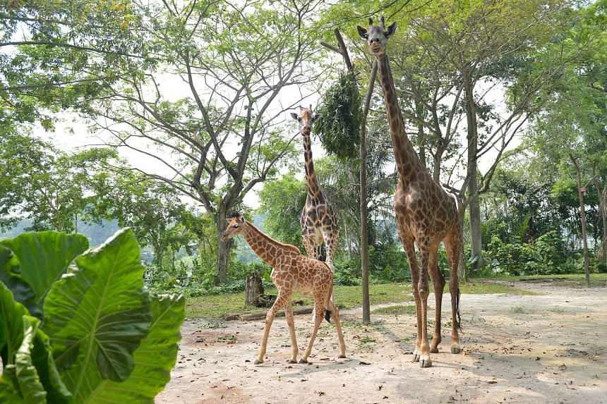The baby giraffe with his father Growie (left, back) and mother Roni (right, back) at the giraffe enclosure in the zoo.