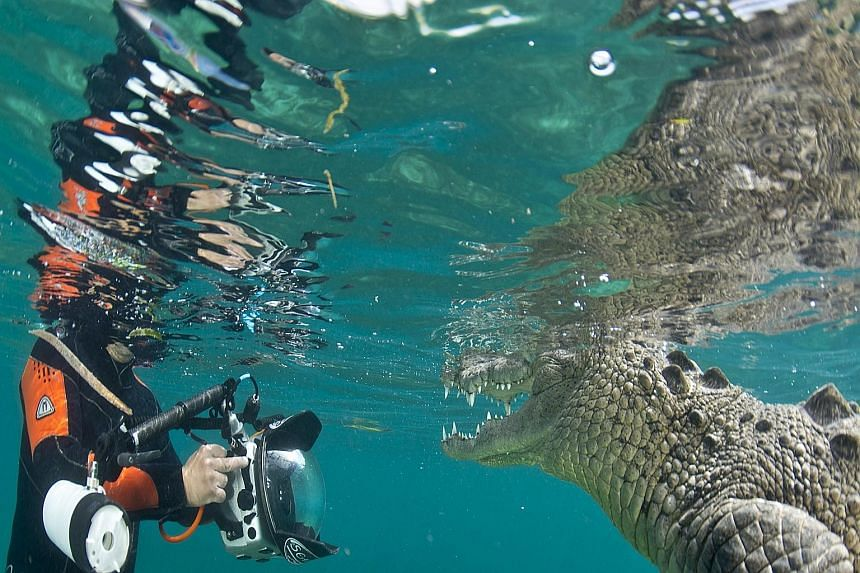 Award-winning conservation photographer Michael Aw taking a picture of a saltwater crocodile at the Gardens of the Queen, an archipelago in the southern part of Cuba. The national park is one of Cuba's largest protected areas.