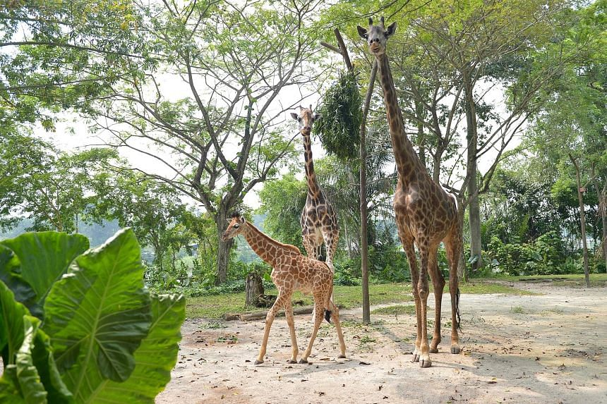 Left: The baby giraffe, nicknamed Baby G, with its father Growie and mother Roni in the giraffe enclosure at the Singapore Zoo. Visitors are advised to try not to make too much noise as the calf is still startled by new things, including the zoo's tr