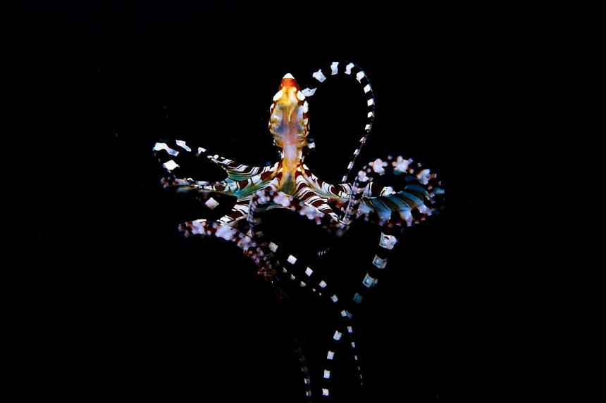 Banggai cardinalfish (with black stripes) and living in the Lembeh Strait in Indonesia.
