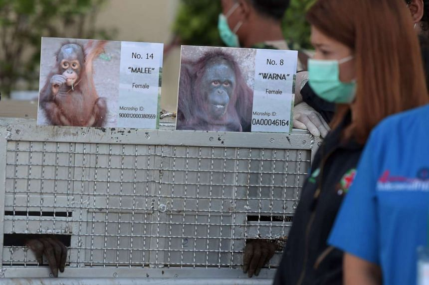 Thai Department of National Parks workers inspecting the specially made orang utan cages as they prepare for the animals' repatriation to Indonesia yesterday. The primates will spend up to two months in quarantine before they are transferred to rehab