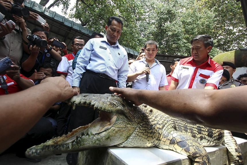 """Indonesia's anti-drugs czar Budi Waseso examining a crocodile at a farm in Medan on Sunday. He has embarked on a nationwide search for the """"most ferocious"""" crocodiles to guard a prison island for drug convicts."""