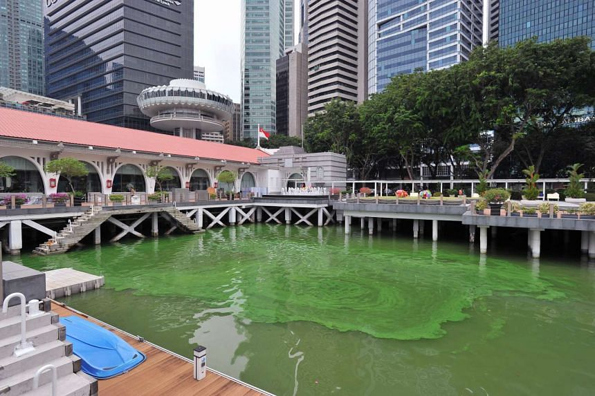 An algae bloom at Clifford Pier caused the water to turn a bright shade of green, on Nov 17, 2015.