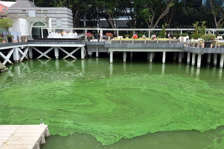 Green algae outside Fullerton Bay Hotel on Nov 17, 2015.