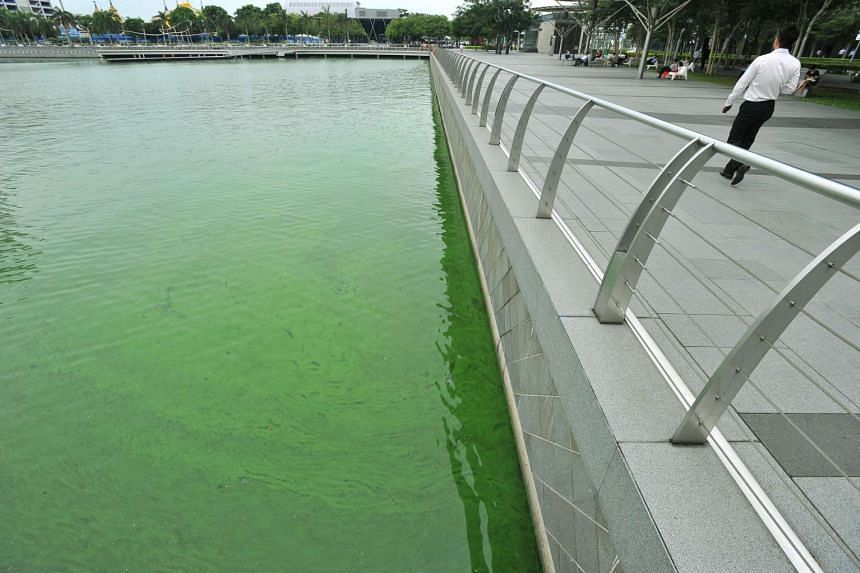 An algae bloom turned the waters at The Promontory@Marina Bay green, on Nov 17, 2015.