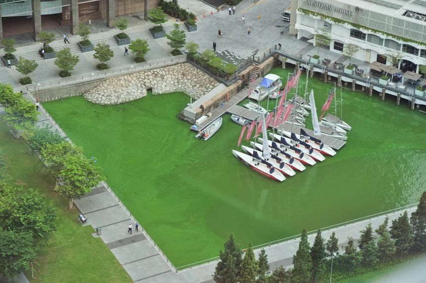 An algae bloom turned the waters at Customs House a bright green, on Nov 17, 2015.
