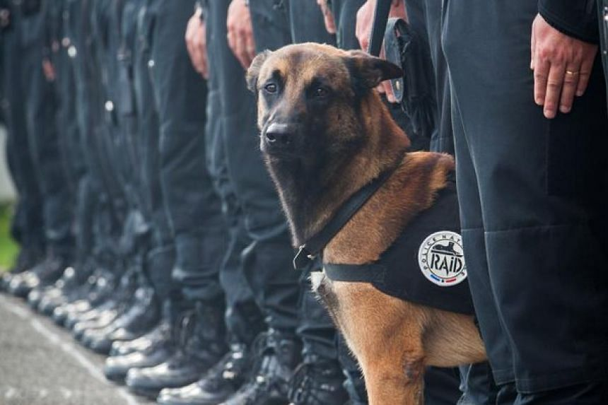 An assault and explosives search dog with the specialist anti-terrorist unit of the French police.