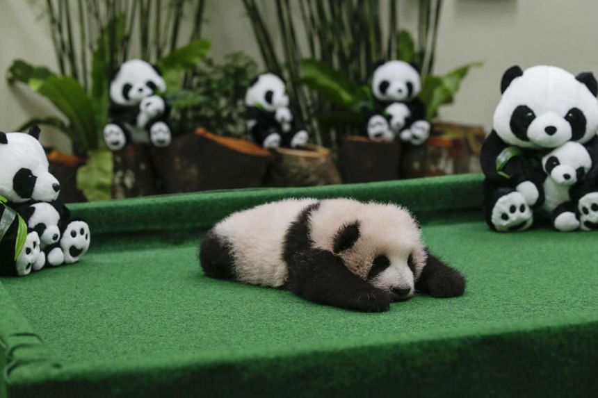 The three-month-old female giant panda cub at the national zoo in Kuala Lumpur, Malaysia, on Nov 17, 2015.