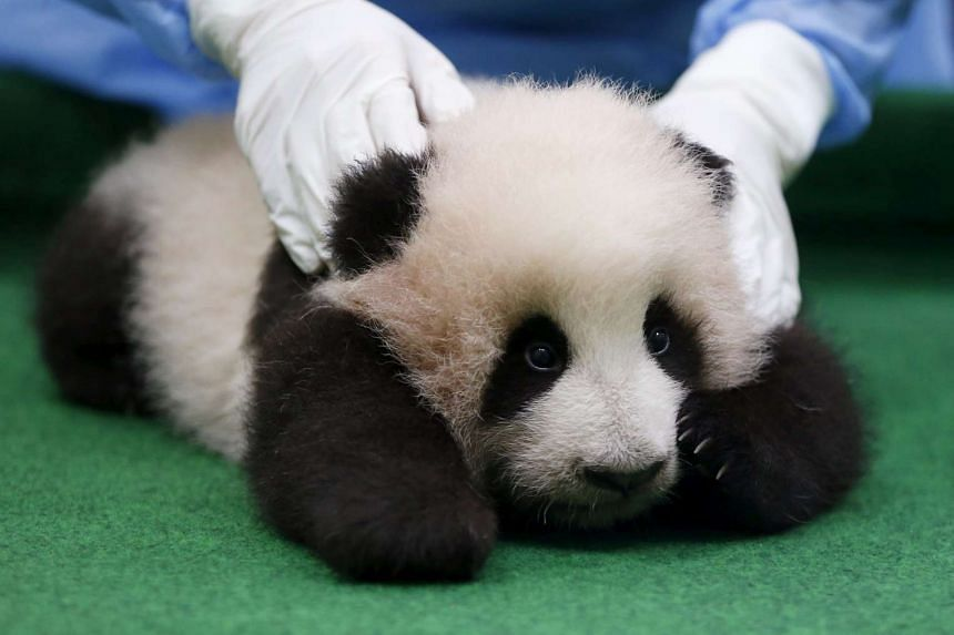A zoo employee holding the three-month-old female giant panda cub at the national zoo in Kuala Lumpur, Malaysia, on Nov 17, 2015.