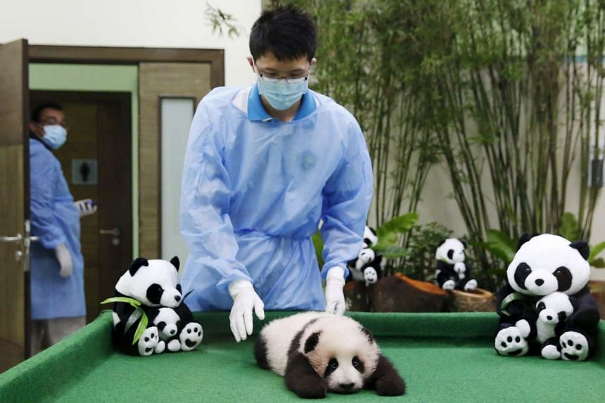 A zoo employee positioning the three-month-old female giant panda cub at the national zoo in Kuala Lumpur, Malaysia, on Nov 17, 2015.