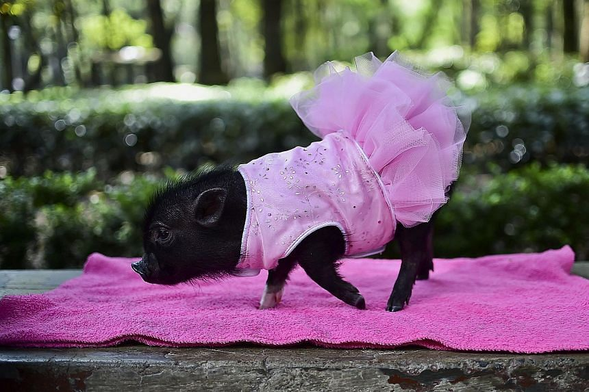 A mini-pig is all dressed up for a walk in a park in Mexico City. Mini-pigs are the new pet craze in Latin America and Mexico, where they have become a status symbol, selling for as much as US$2,500 (S$3,500) each.