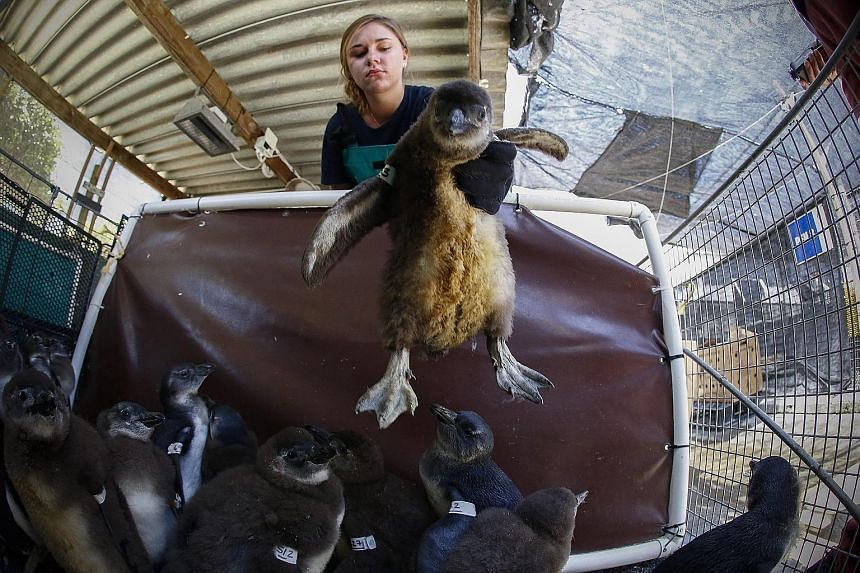 """Ms Lisa Ross, an intern at the Southern African Foundation for the Conservation of Coast Birds (Sanccob), moving one of 247 endangered African penguin chicks after feeding. The penguins were brought to Sanccob at the start of """"chick season"""" last mont"""