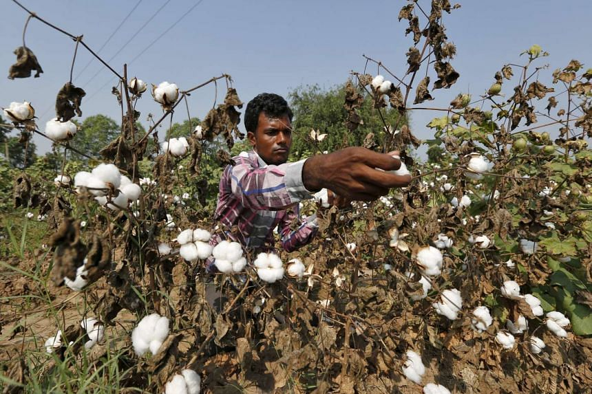 A farmer harvesting cotton at Nani Kadi village in Gujarat on Oct 20.