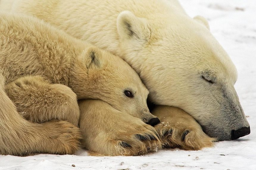 Conservationists expect polar bear populations to fall by more than 30 per cent over the next 35 to 40 years.