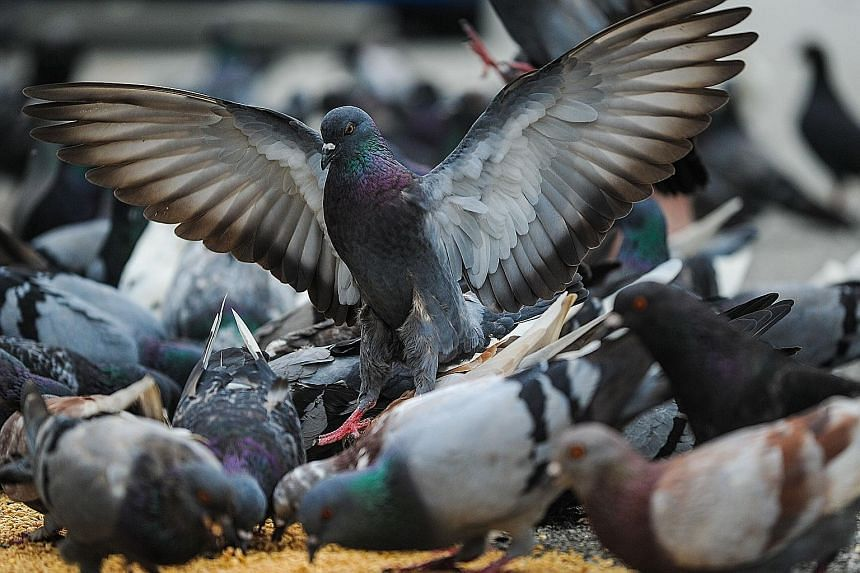 Pigeons' visual recall has been found to be similar to that of humans. Visual recall is needed for pathologists and radiologists to determine what is and is not cancer when looking at images.