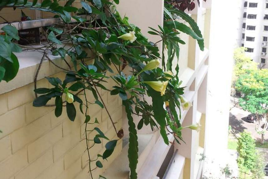 Plant Cup of Gold Vine in sunny spot.