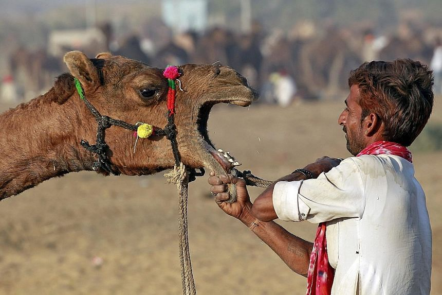 A camel herder getting a camel ready at the Pushkar Fair yesterday in Rajasthan, India. Thousands of animals, mainly camels, are traded at the annual fair.