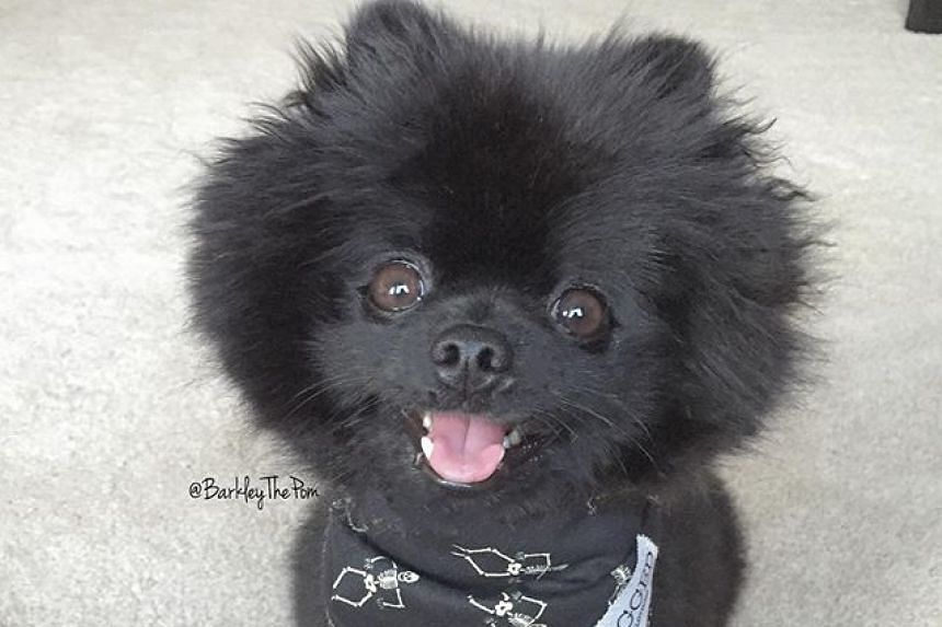 Barkley, a black pomeranian, had more than 420,000 followers on Instagram and 450,000 on Vine. He died suddenly on Oct 26.