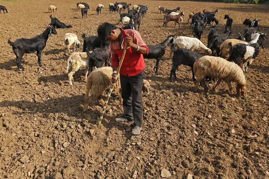 Sheep grazing in a parched padi field on the outskirts of Ahmedabad in India. Heatwaves this year have claimed more than 3,000 lives in the country, as well as livestock. Some parts of India have also received less than half the expected rainfall, wi