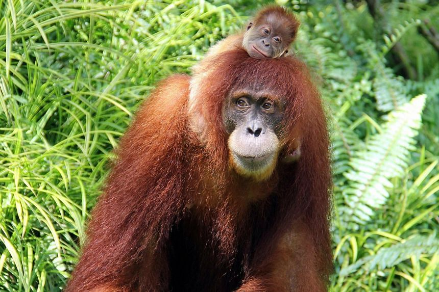 There are only about 6,600 orang utans remaining in fragmented habitats in the central regions of Aceh, home to a majority of Sumatran orang utans.