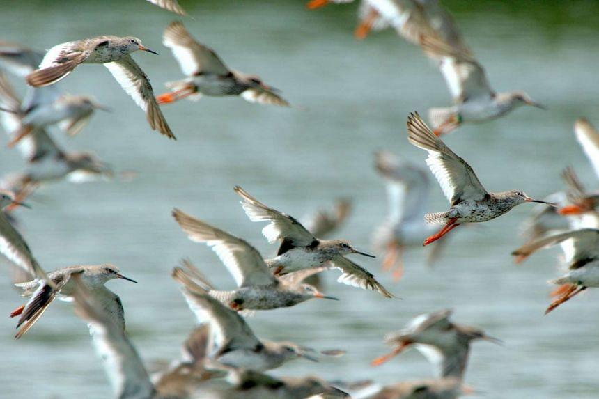 Redshanks in flight.