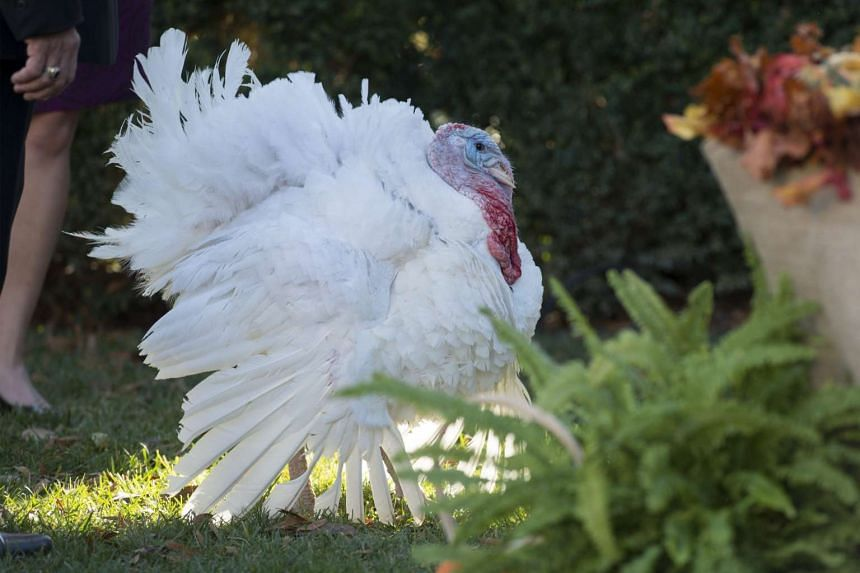 One of the pardoned turkeys.